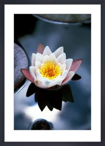 Waterlily I by Richard Osbourne