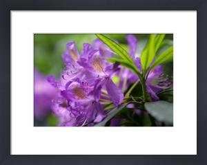 Purple Rhodedendron by Richard Osbourne