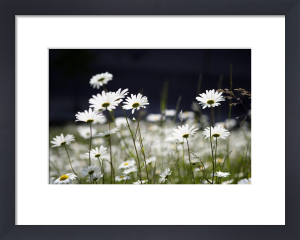 Oxeye Daisies by Richard Osbourne