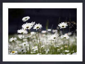 Oxeye Daisies by Richard Osbourne