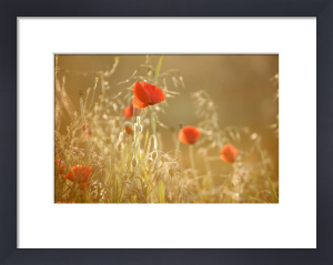 Poppies and Grasses Summer by Richard Osbourne