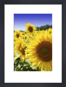 Sunflowers by Richard Osbourne
