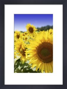 Sunflowers by Richard Osbourne
