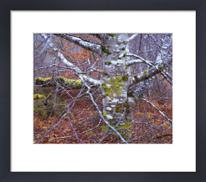 Silver Birch, Inverness, Scotland by Richard Osbourne