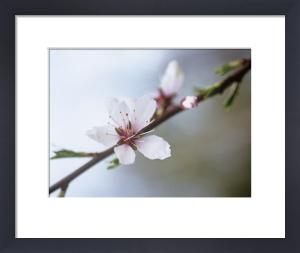 Prunus dulcis by Carol Sharp