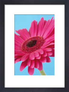 Gerbera by Cunningham -Waterman