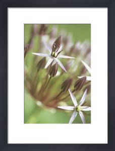 Allium cristophii by Dave Zubraski