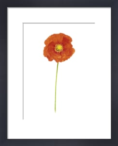 Papaver croceum by Dave Zubraski