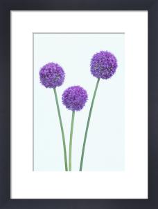 Allium 'Globemaster' by Dave Zubraski