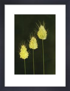 Lagurus ovatus by Fiona Lea