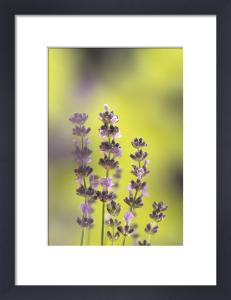 Lavandula augustifolia by Fiona Lea