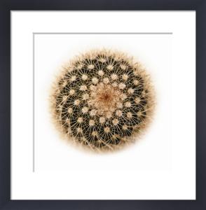 Mammillaria spinisissima by Raul Gonzalez