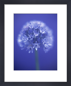 Allium caeruleum by Tracy Simmonds