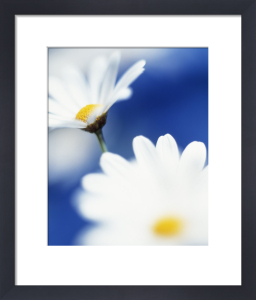 Leucanthemum vulgare, Daisy - Ox-eye daisy by Clive Holmes Ltd