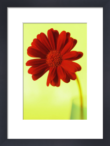 Chrysanthemum, Daisy by Clive Holmes Ltd
