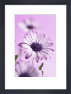 Osteospermum 'Kalanga', Osteospermum by Clive Holmes Ltd