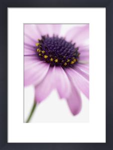 Osteospermum, Osteospermum by Clive Holmes Ltd