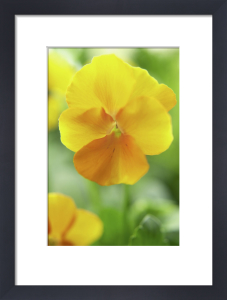 Viola wittrockiana, Pansy by Clive Holmes Ltd