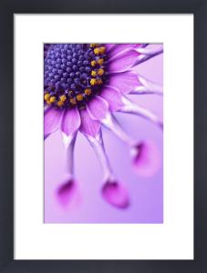 Osteospermum 'Whirligig', Osteospermum by Clive Holmes Ltd