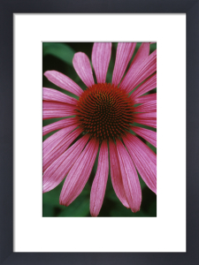 Echinacea, Purple coneflower by Rosemary Calvert