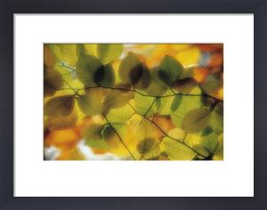 Fagus sylvatica, Beech by Rosemary Calvert