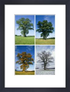 Quercus robur, Oak by Rosemary Calvert