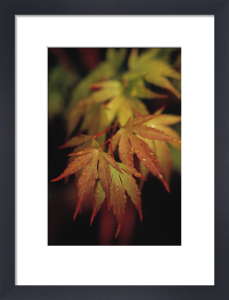 Acer palmatum, Japanese maple by Carl Pendle