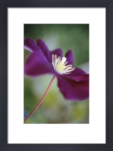 Clematis viticella 'Etiole Violette', Clematis by Carol Sharp