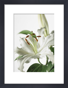 Lilium 'Casa Blanca', Lily by Carol Sharp