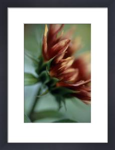Helianthus annus 'Pastiche', Sunflower by Carol Sharp