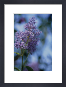 Ceanothus, Californian Lilac by Carol Sharp