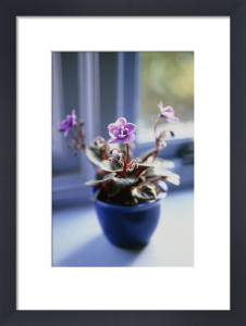 Saintpaulia, African violet by Carol Sharp