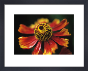 Helenium 'Moerheim Beauty', Helen's flower, Sneezeweed by Carol Sharp