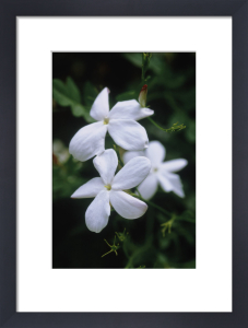 Jasminum officinale, Jasmine by Carol Sharp