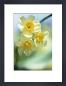 Narcissus by Carol Sharp