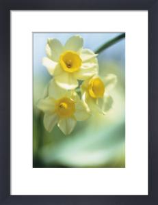 Narcissus by Carol Sharp