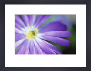 Anemone blanda, Anemone by Carol Sharp
