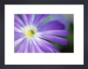 Anemone blanda, Anemone by Carol Sharp