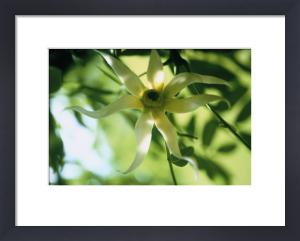 Canaga odorata, Ylang ylang by Carol Sharp