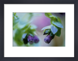 Cerinthe major purpurescens, Cerinthe by Carol Sharp