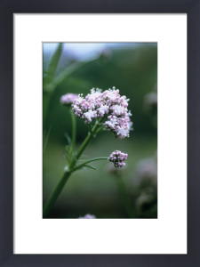 Valerian officinalis, Valerian - Common valerian by Carol Sharp