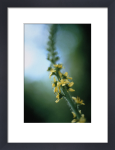 Agrimonia eupatoria, Agrimony by Carol Sharp