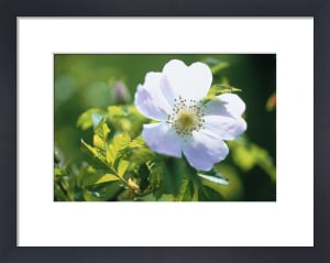 Rosa canina, Wild rose, Dog rose by Carol Sharp
