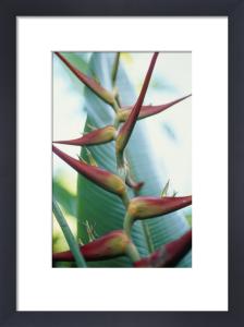 Heliconia schiedeana, Heliconia by Carol Sharp