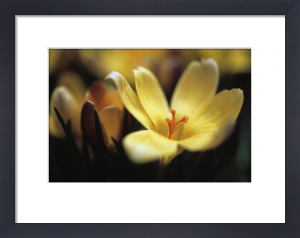 Crocus chrysanthus, Crocus by Carol Sharp