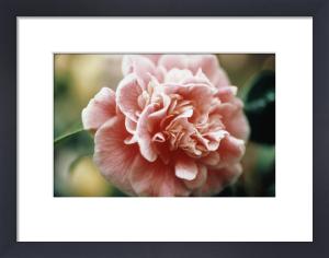Camellia japonica 'Lady loch', Camellia by Carol Sharp