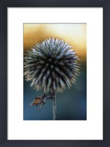 Echinops ritro, Globe thistle by Carol Sharp