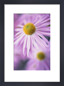 Aster, Daisy by Carol Sharp