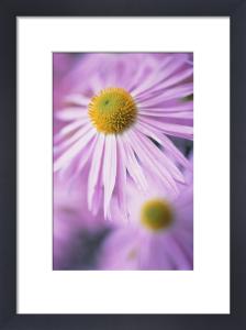 Aster, Daisy by Carol Sharp