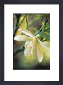 Vanilla planifolia, Vanilla by Carol Sharp